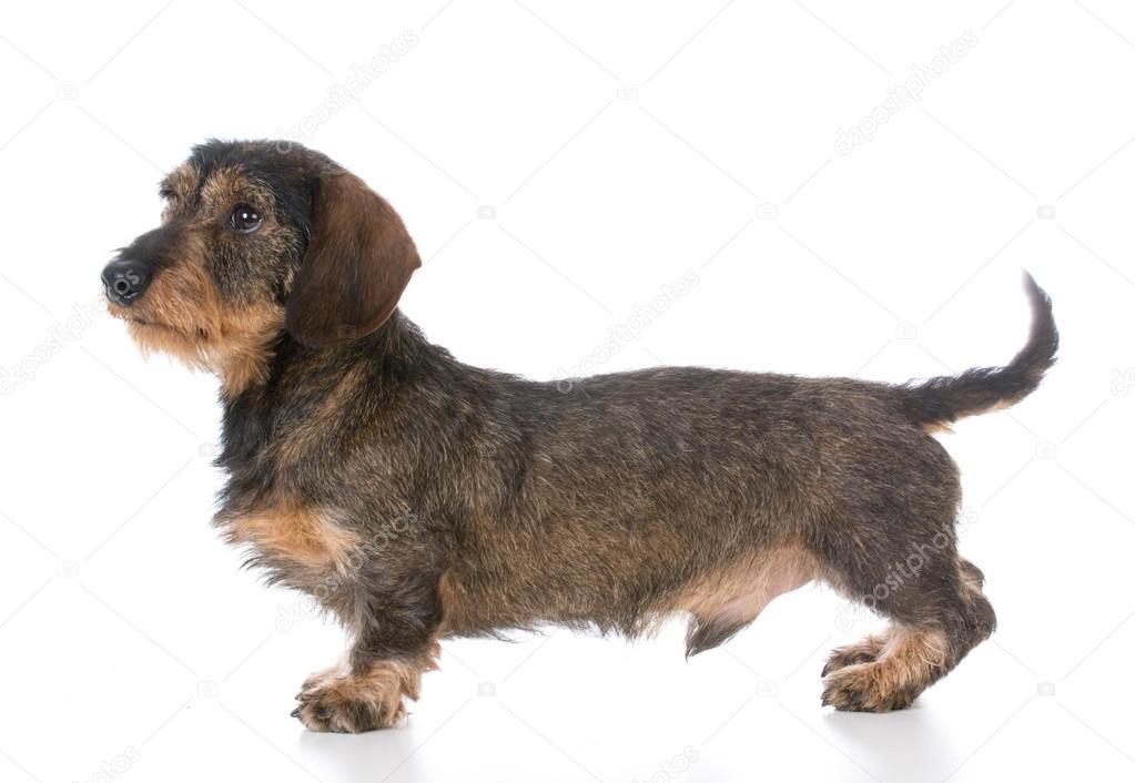 Boar Dog Puppies