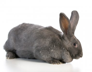 giant flemish bunny