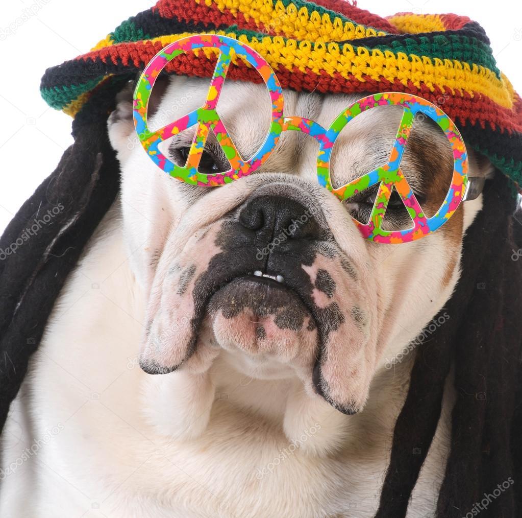 Cane divertente con i vetri di parrucca e pace di dreadlock su priorità  bassa bianca — Foto di willeecole 222019ecdc74