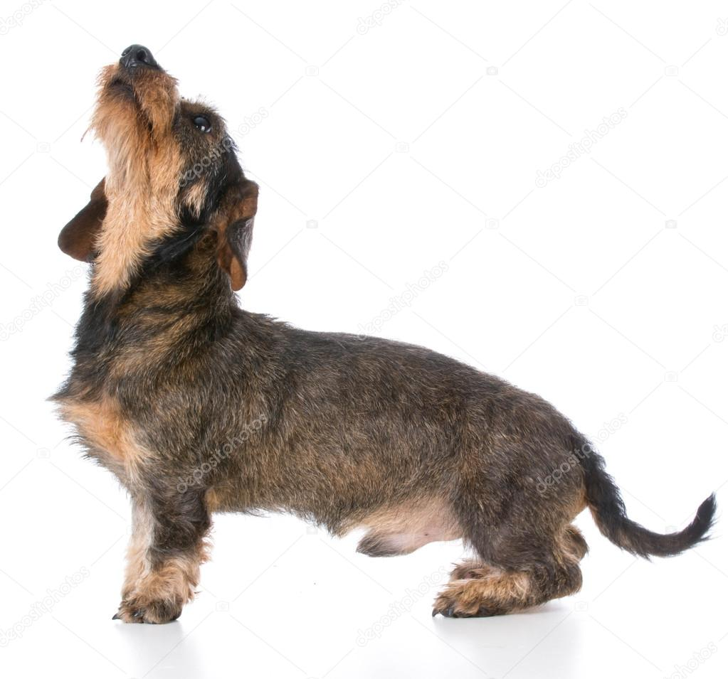 miniature wirehaired dachshund — Stock Photo © willeecole #98414802