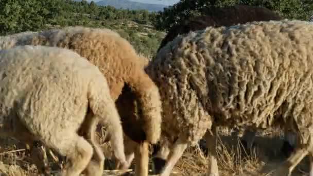 Pole pastvy ovcí