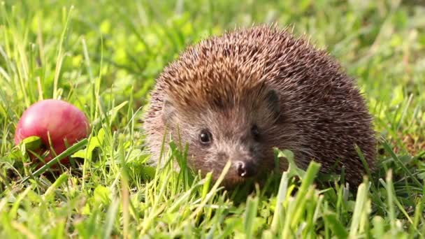 Hedgehog is walking and sniffing in the grass at summer, red apples around