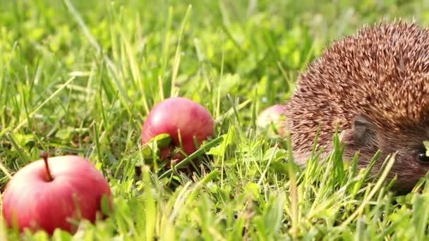 Sün gyaloglás és szippantás a fű, nyári, piros alma, ezen a környéken: