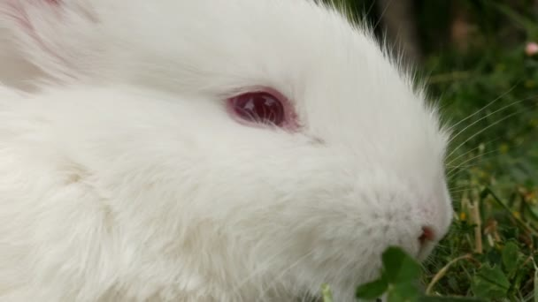 Fluffy white rabbit sniffing, close up