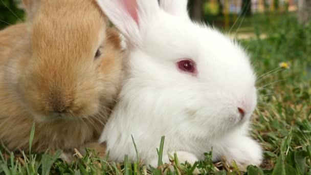 Nadýchané bílé a hnědé králíků čmuchat, zblízka