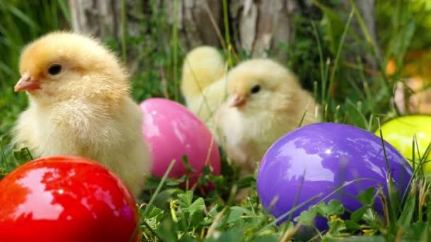 Baby kuřat na zelené trávě mezi eatser oči