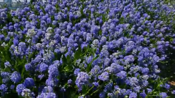 Beautiful blue flowers waggle from the wind