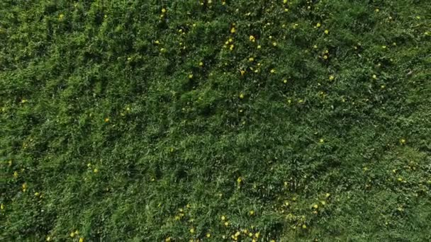 Flying over grass field and dandelions