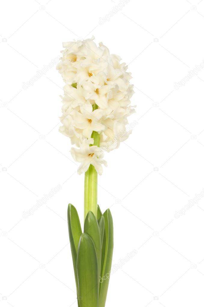weiße Hyazinthe Blume — Stockfoto © griffin024 #63815473