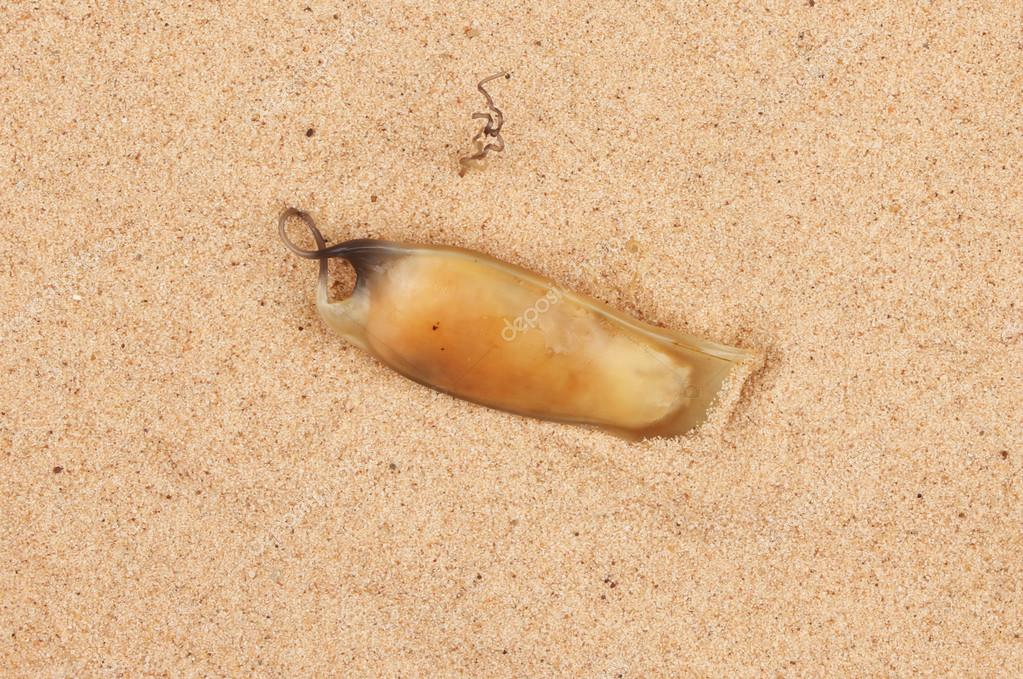 Shark fish species egg case