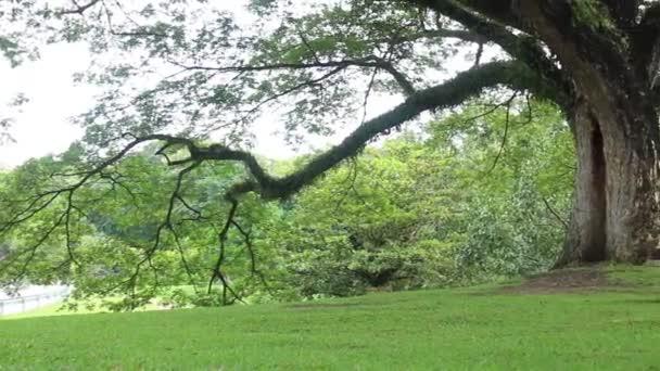 Zöld fa nyáron mező, stock footage