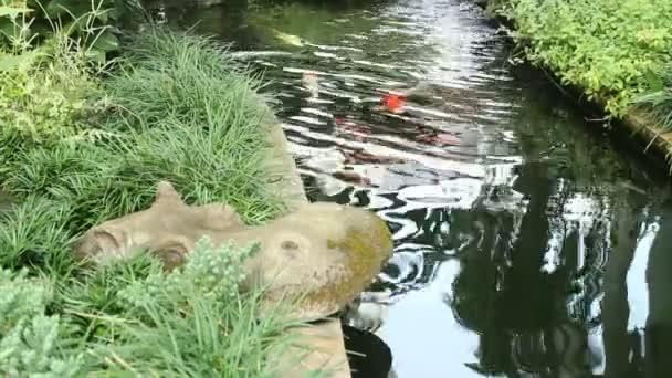 Kapry ryby v zahradním jezírku