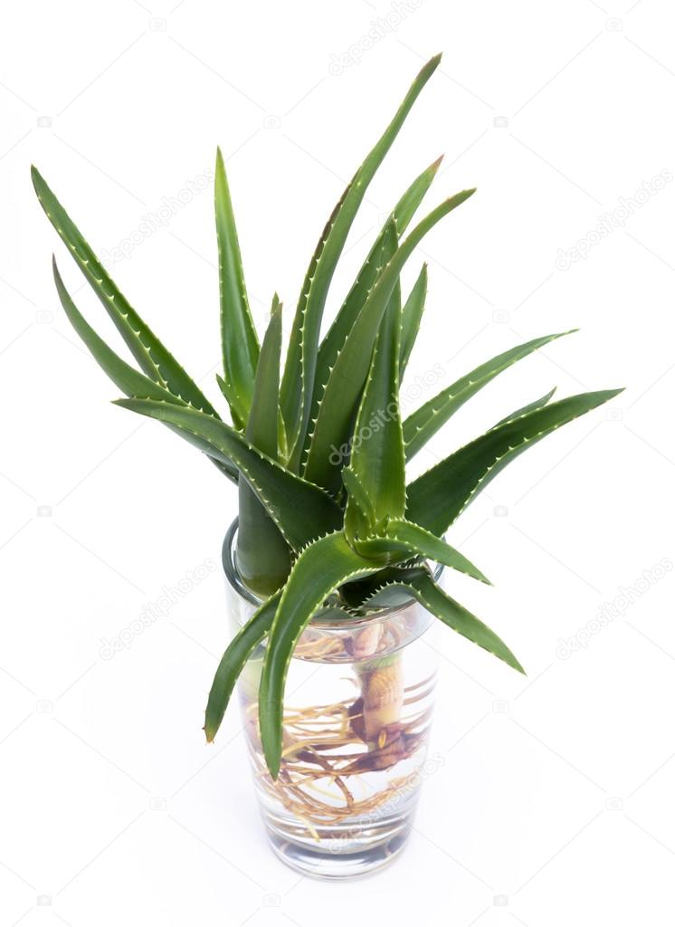 aloe vera con le radici in un bicchiere d 39 acqua foto. Black Bedroom Furniture Sets. Home Design Ideas
