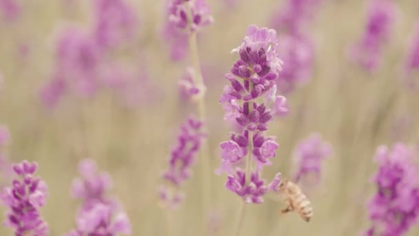 Honey bee on a lavender flower, Provence