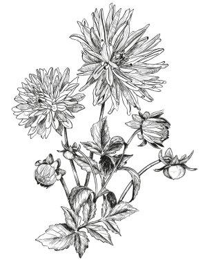 Sketch of Beautiful flowers of Garden asters