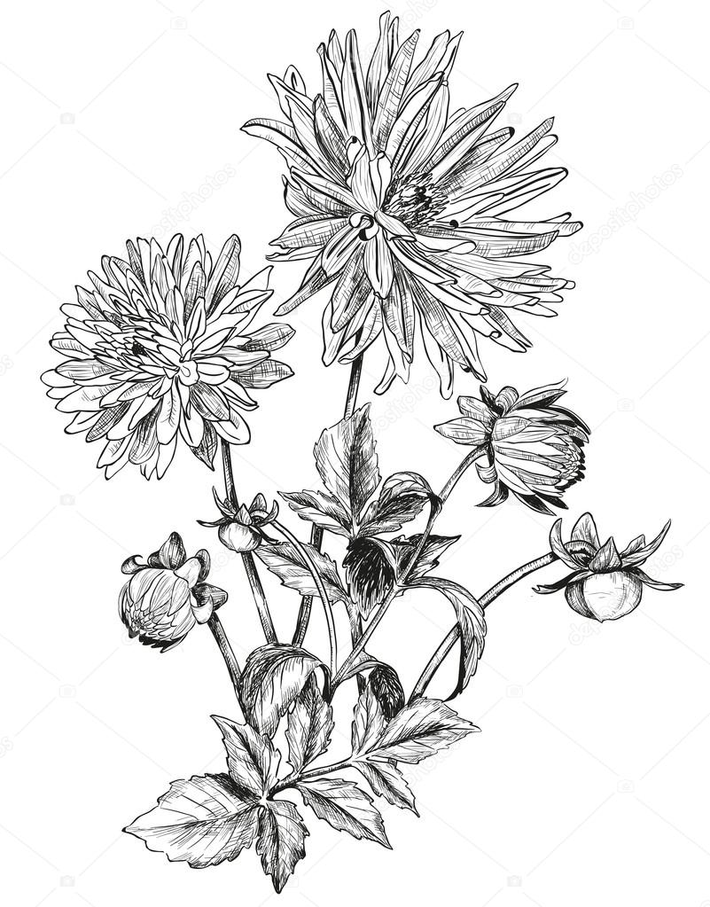 Sketch of Beautiful flowers of Garden asters