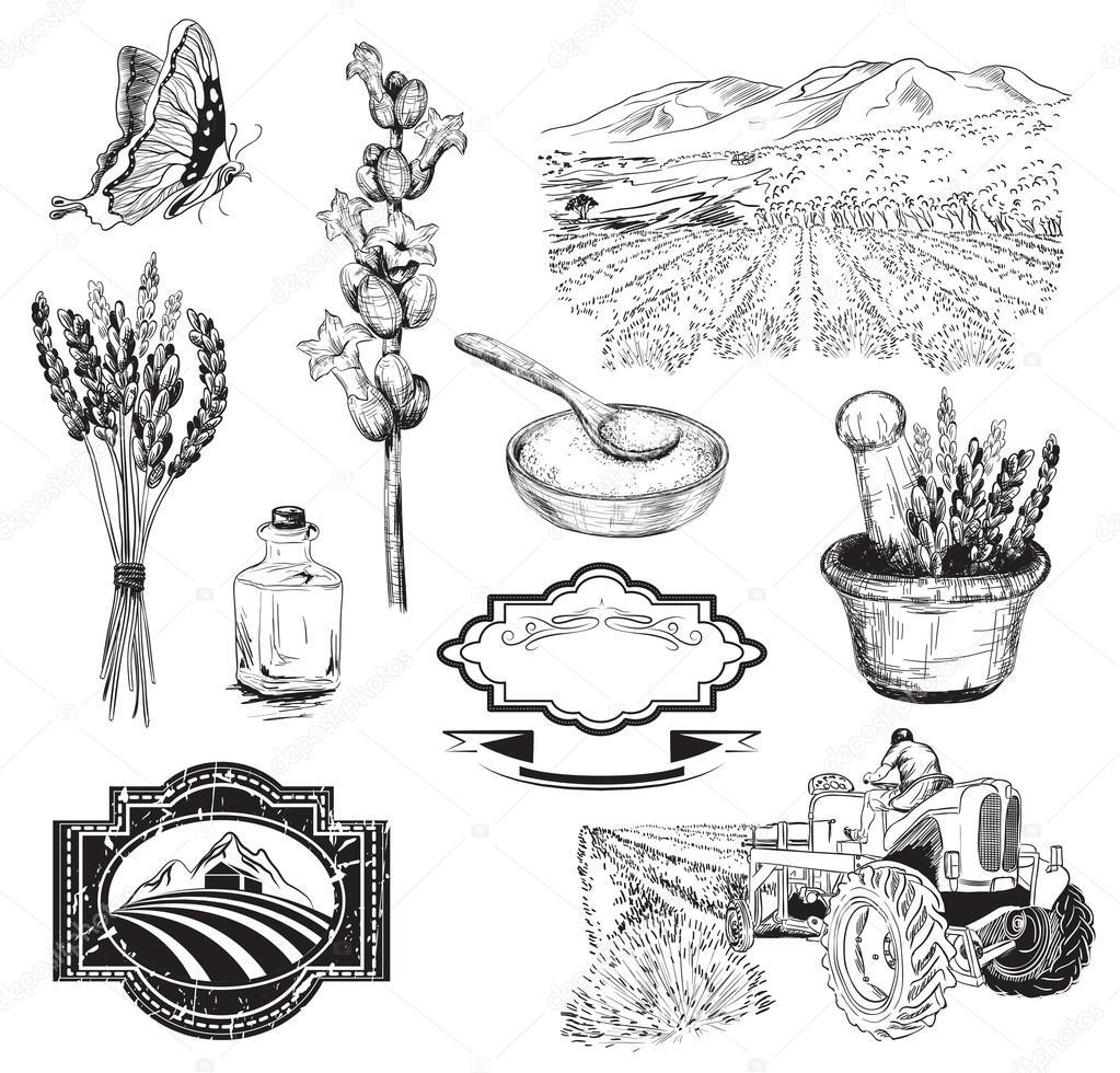 lavender flowers sketch