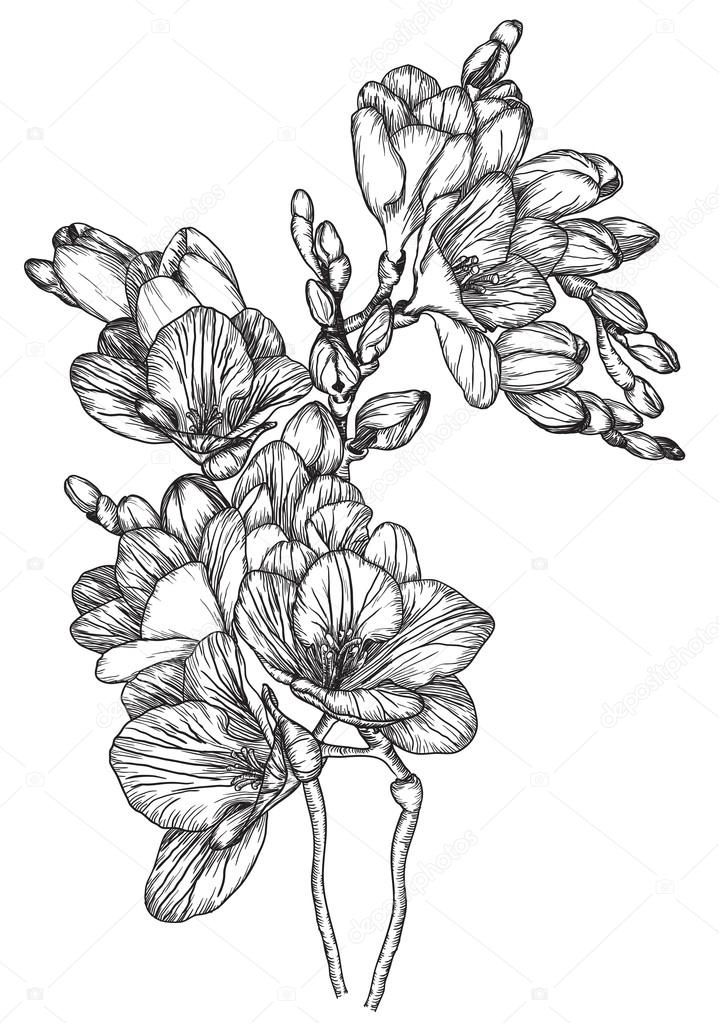 Black and white sketch of Beautiful spring freesias