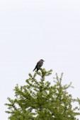 Pohled na ptáka louskáček na stromě, Itálie