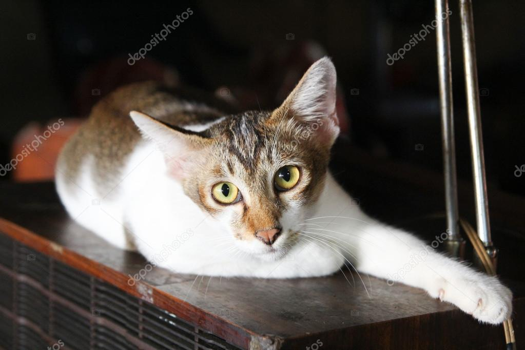 A comfortable Egyptian Mau cat relaxes on a couch. Shallow depth