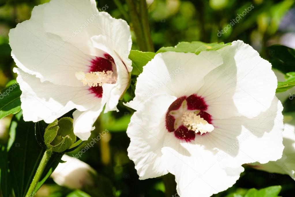 Weiß Hibiskus, Blumen Rosa chinensis — Stockfoto © fotografiecor ...