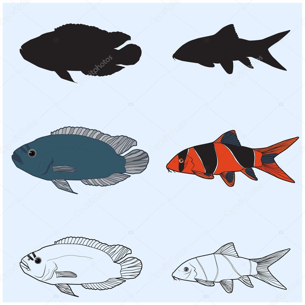 The contours of aquarium fish.Chromobotia macracanthus, Botia macracanthus, Clown Loach.Cichlidae
