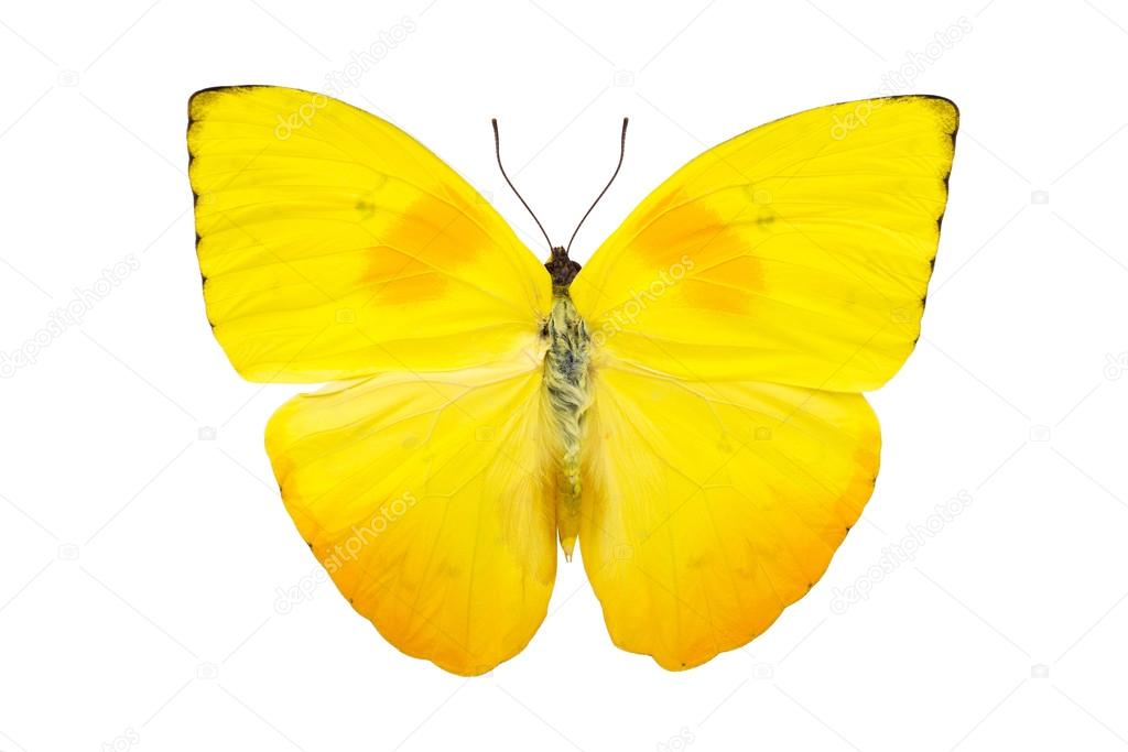 Beautiful bright yellow butterfly isolated on white