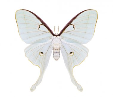 Beautiful night moth with tailed wings isolated on white