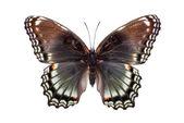 Nádherný barevný motýl s hnědými a světle modrými křídly