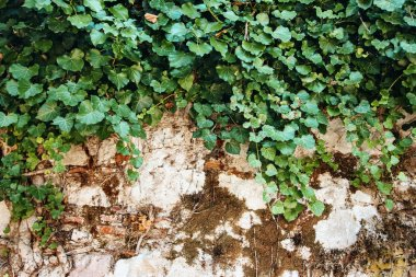Nature Background with Ivy Leaves on Vintage Wall