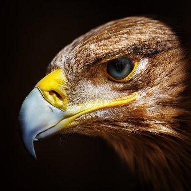 Golden eagle close up portrait