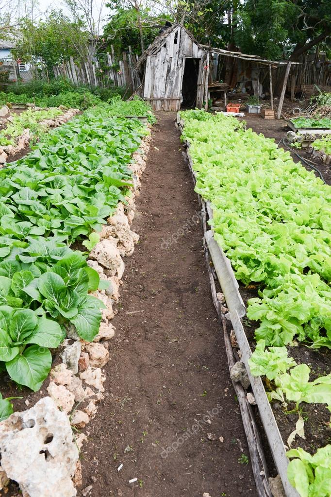Rows of fresh lettuce plants in the countryside of Giron Stock