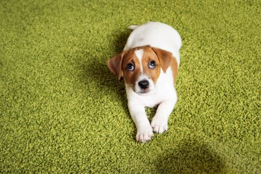 Puppy Jack russell terrier lying on a carpet and  looking up gui