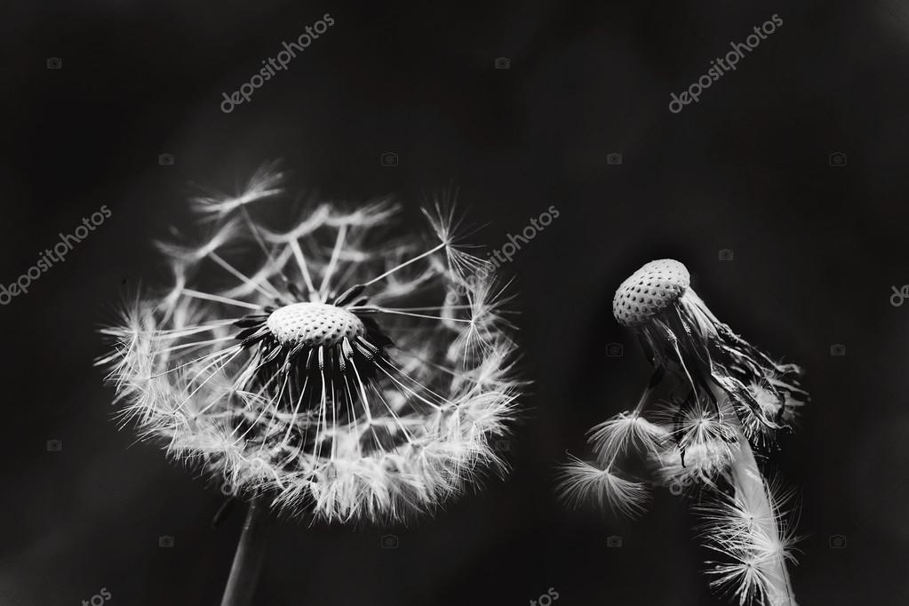 Two white dandelions on black background.