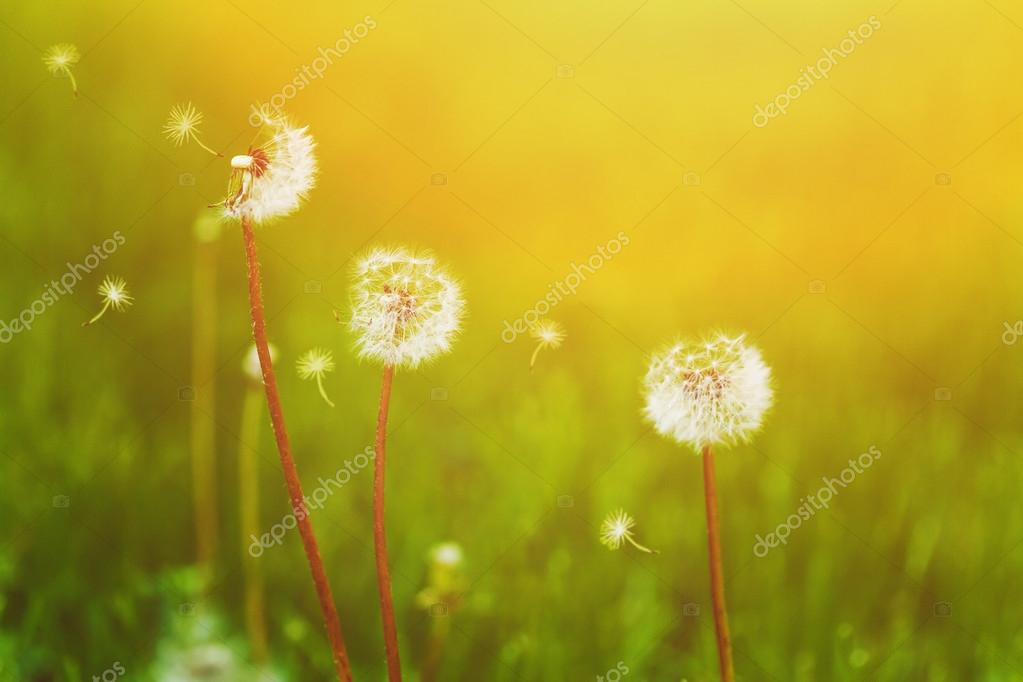 White dandelions and flying seeds on the green bokeh background.