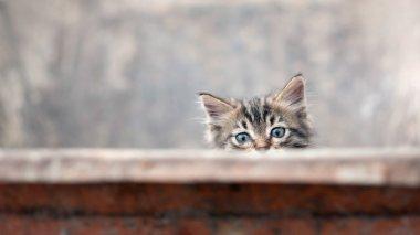 Little gray kitten portrait