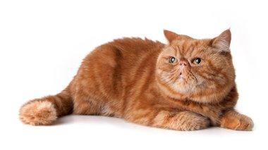 Red persian short hair cat