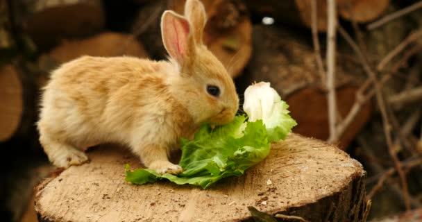 coniglio mangiare insalata