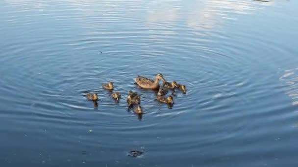 Wild Mother Duck With Cute Newborn Ducklings Swimming in Water
