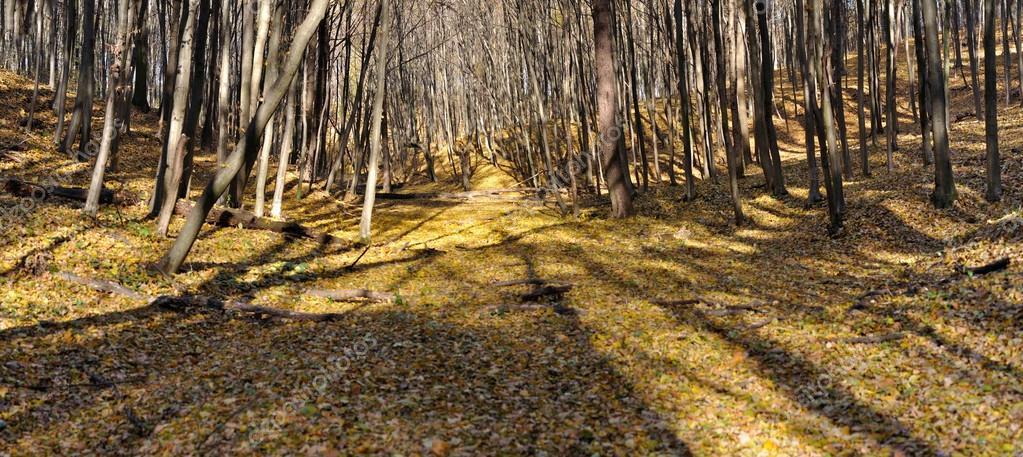 Фотообои autumn forest panorama