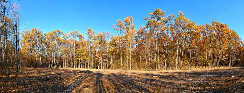 Фотообои autumn forest panorama with yellow trees
