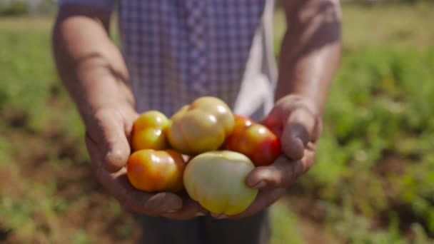 15-man farmář ukazující červená a zelená rajčata na fotoaparát