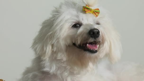 1 kleiner Pudel Hund Haustier mit Schüssel mit Essen