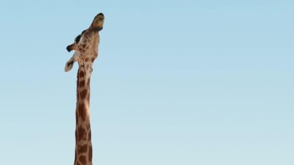 Kipróbálás-hoz Reach zsiráf fa ág afrikai vadvilág vadon élő állatok