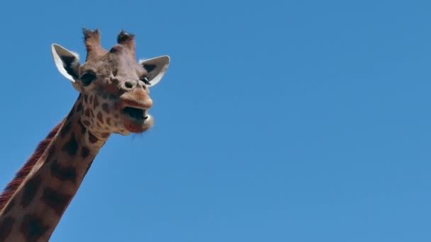 Zsiráf afrikai vadvilág vadon élő állatok a Zoo állatkert