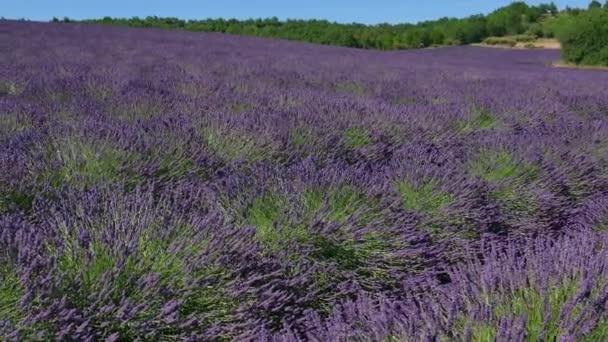 Krásné květiny kvetou květy ve Francii Provence levandule pole