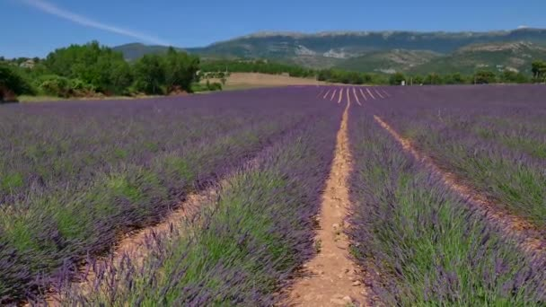 Letní krajina přírodní levandulová pole v Provence Francie
