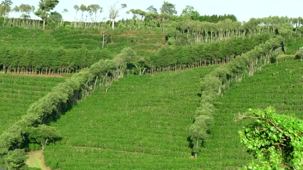 Coffee Plantation Cultivation Agriculture Farming Field Hills In Costa Rica