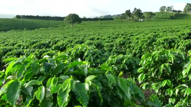 Plantation Cultivation Agriculture Farming Coffee Plants Field In Costa Rica