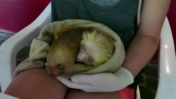 Baby lenochodi divoká zvířata jídlo v Zoo Kostarika